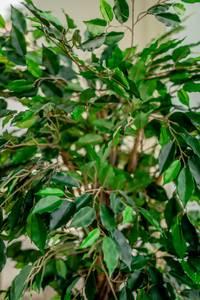 Bilde av Kunstig Tropisk Fikus 150cm